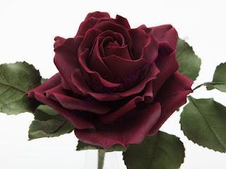 Dunkelrote Rose :-)