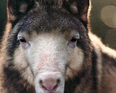 Syriza, das Schaf im Wolfspelz