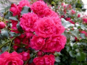 Rote Lippen sollst Du küssen, rote Rosen sollst Du lieben!