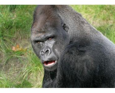 Keine Menschenaffen mehr in Zoos?