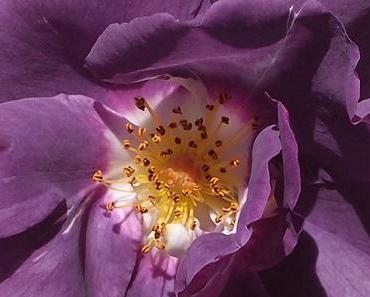 ewiger Rosenmond …