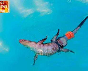 Alligator erhält Schwanz-Prothese