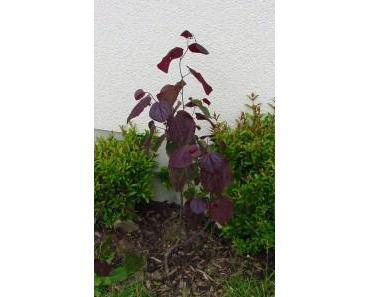 Cercis canadensis Forest Pansy – Rotblättriger Judasbaum