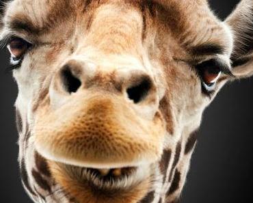 Hangover 3: Giraffe hat Clip und Poster im Gepäck