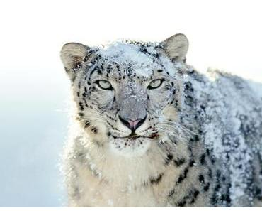 °.: Leben - Der Schneeleopard :.°