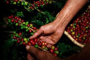 Das Kaffee-Dreieck – Kolumbien