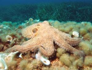 Kraken, faszinierend und hoch intelligent