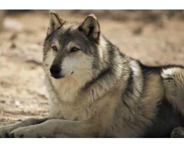 Die Macht der Wölfe