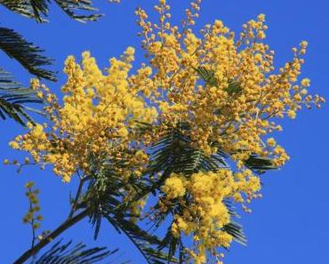 Mimosen blühen am Comer See rechtzeitig zum Frauentag