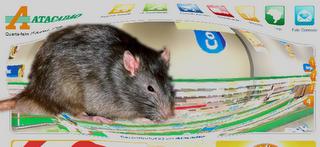 Wenn Ratten sich im Supermarkt wohl fühlen
