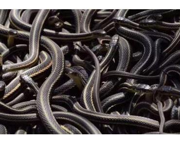 Kanadischer Schlangensalat