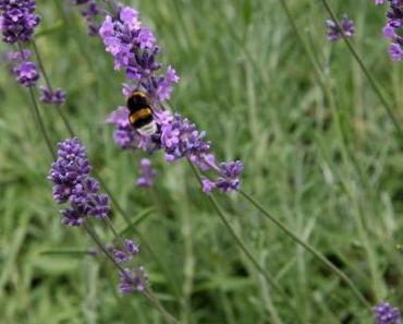 Brotaufstrich auf provenzalische Art – Lavendel-Haselnuss-Creme (vegan)