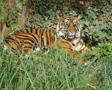 Raubkatzen aus dem Frankfurter Zoo sollen im Stadtwald heimisch werden