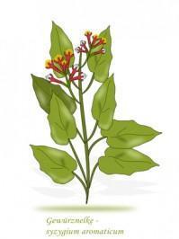 Gewürznelke ( Syzygium aromaticum )