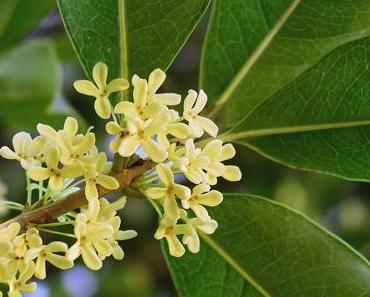 Osmanthus fragrans – Süße Duftblüte (Teil 1)