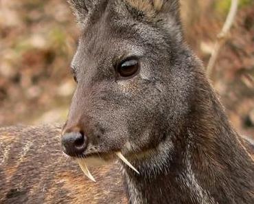 Vampir-Hirsche gesichtet