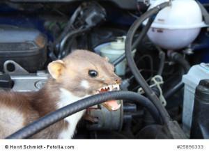 Marder im Auto –  Wie kann ich den Marder vertreiben?