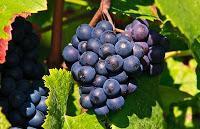 Die heilende Wirkung der Weintrauben