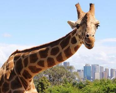 Wie schläft eigentlich eine Giraffe?